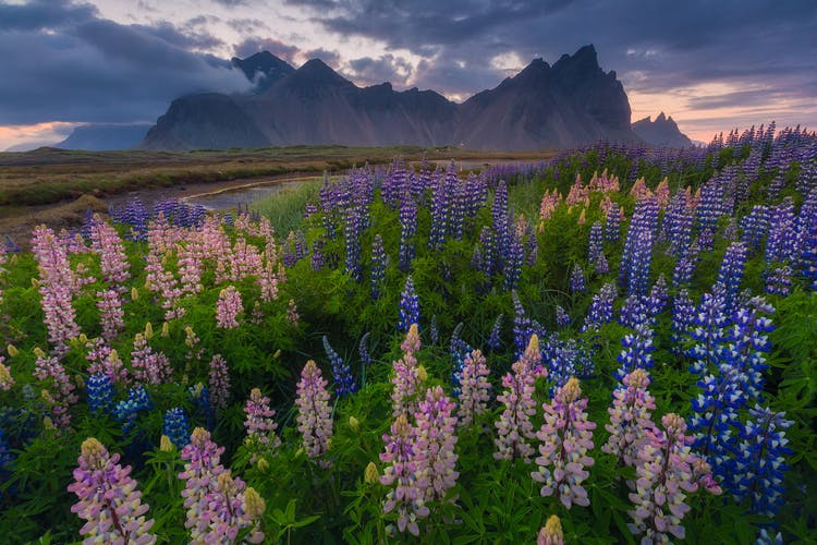 Blue and pink lupin flowers in front of the dramatic Vestrahorn mountain.