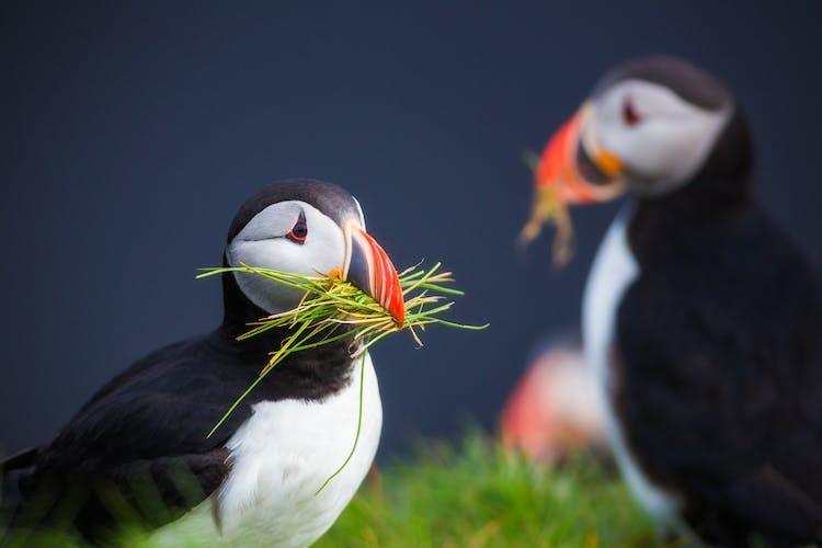 นกพัฟฟินแอตแลนติก 2 ตัวระหว่างฤดูกาลการทำรัง.