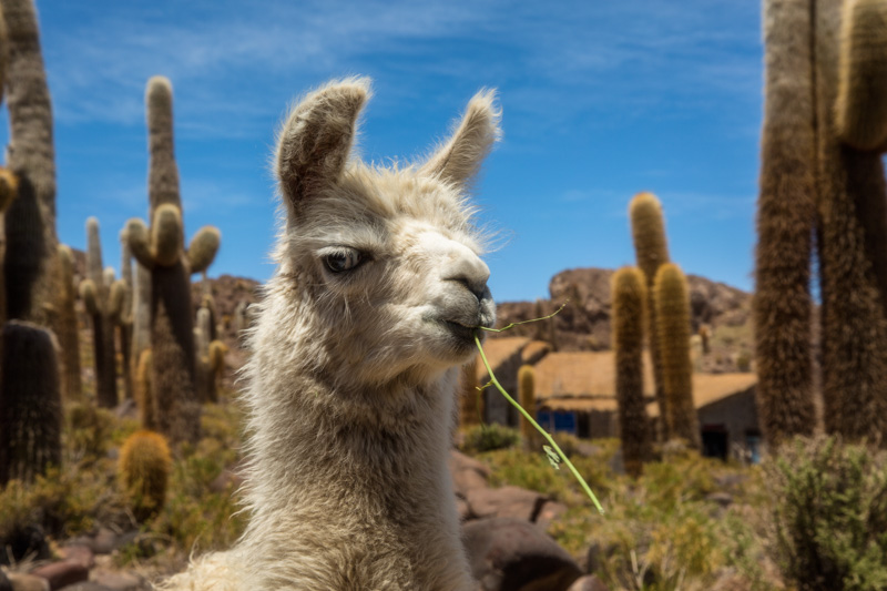 Llamas are just one of the animals you will see travelling around Bolivia.