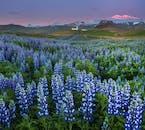 Im Sommer prägen Lupinen die Landschaft, besonders an der Südküste.