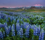 In the summertime, lupines dominate the landscape especially on the South Coast.