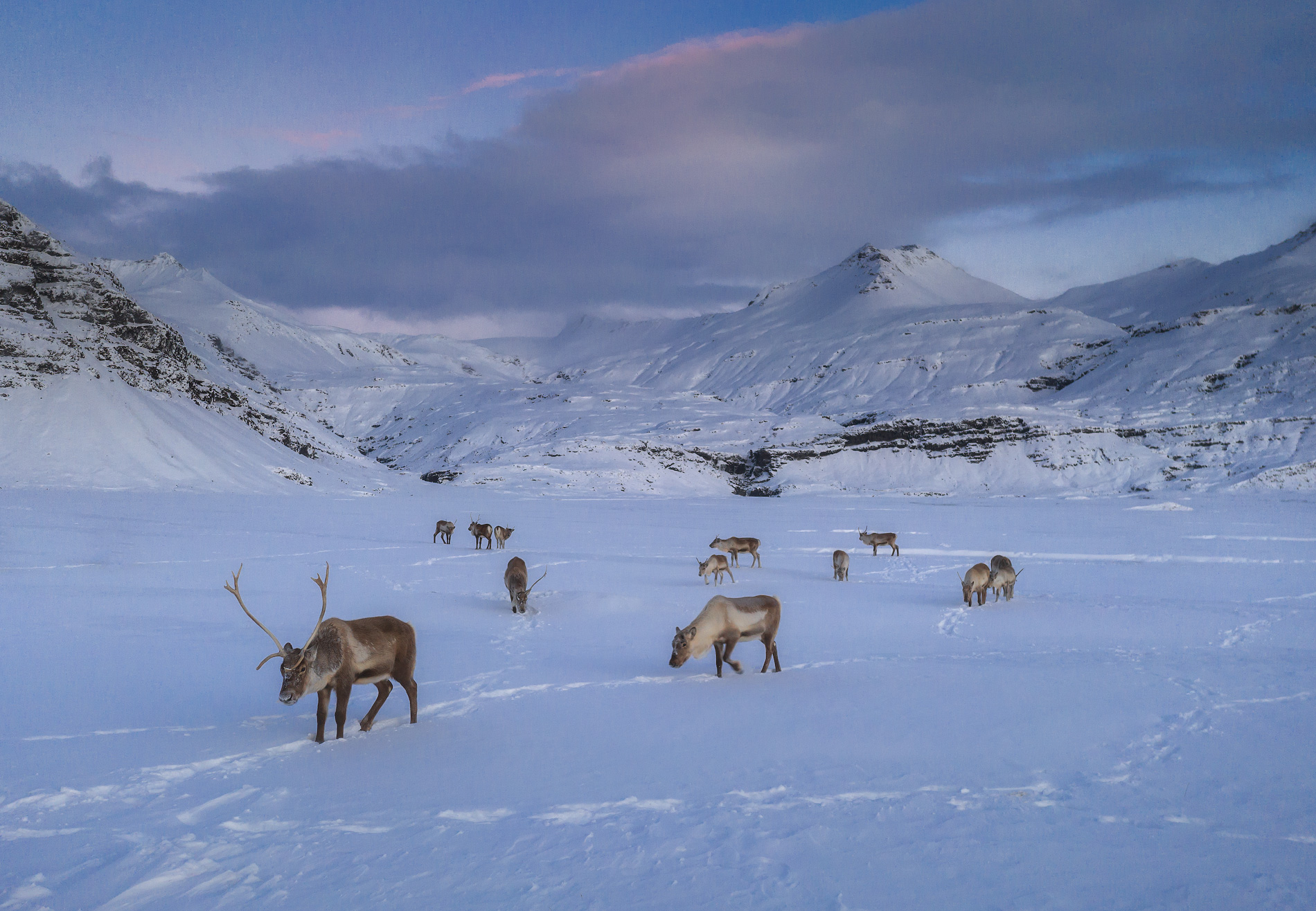 如果幸运的话,您可能会在东部峡湾发现一些野生驯鹿。