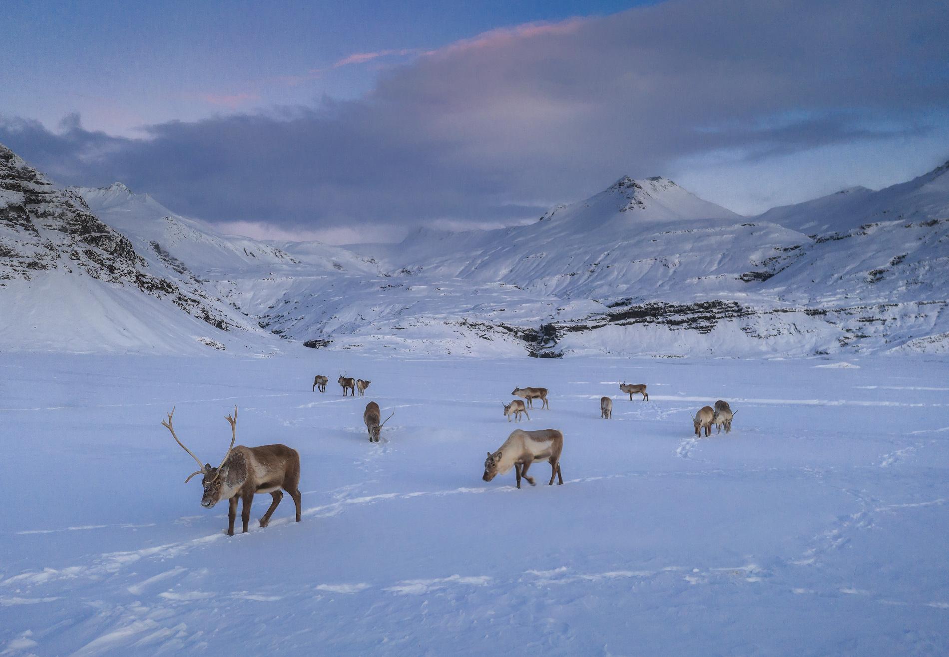 Wenn du Glück hast, kannst du in den Ostfjorden wilde Rentiere beobachten.