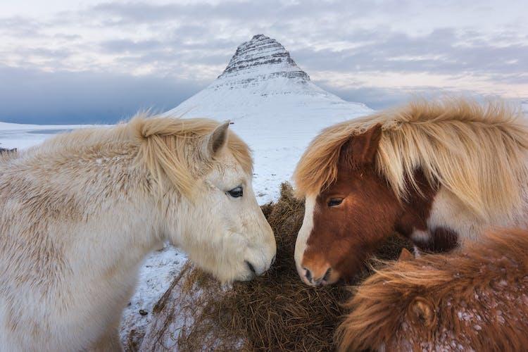 Icelandic horses nuzzling each other under the strikingly beautiful Mount Kirkjufell.