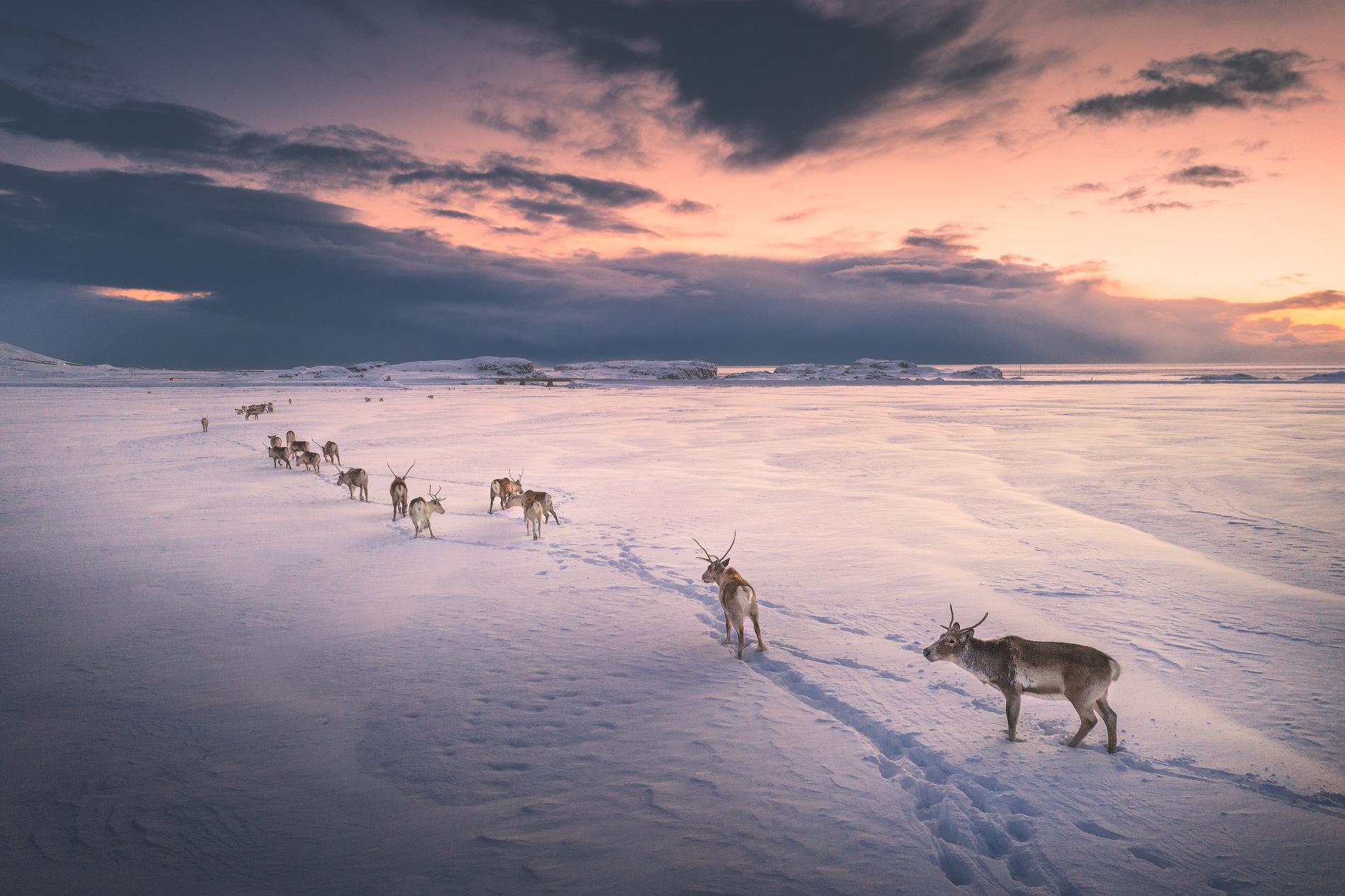 Da sich die Nutzung von Rentieren in Island nie durchgesetzt hat, streifen die Tiere hier frei durch die Landschaft.