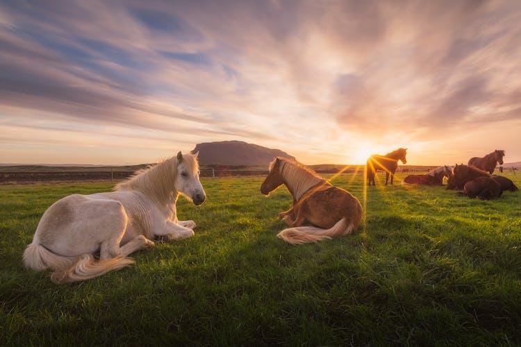 Grasende Islandpferde auf einem Feld.