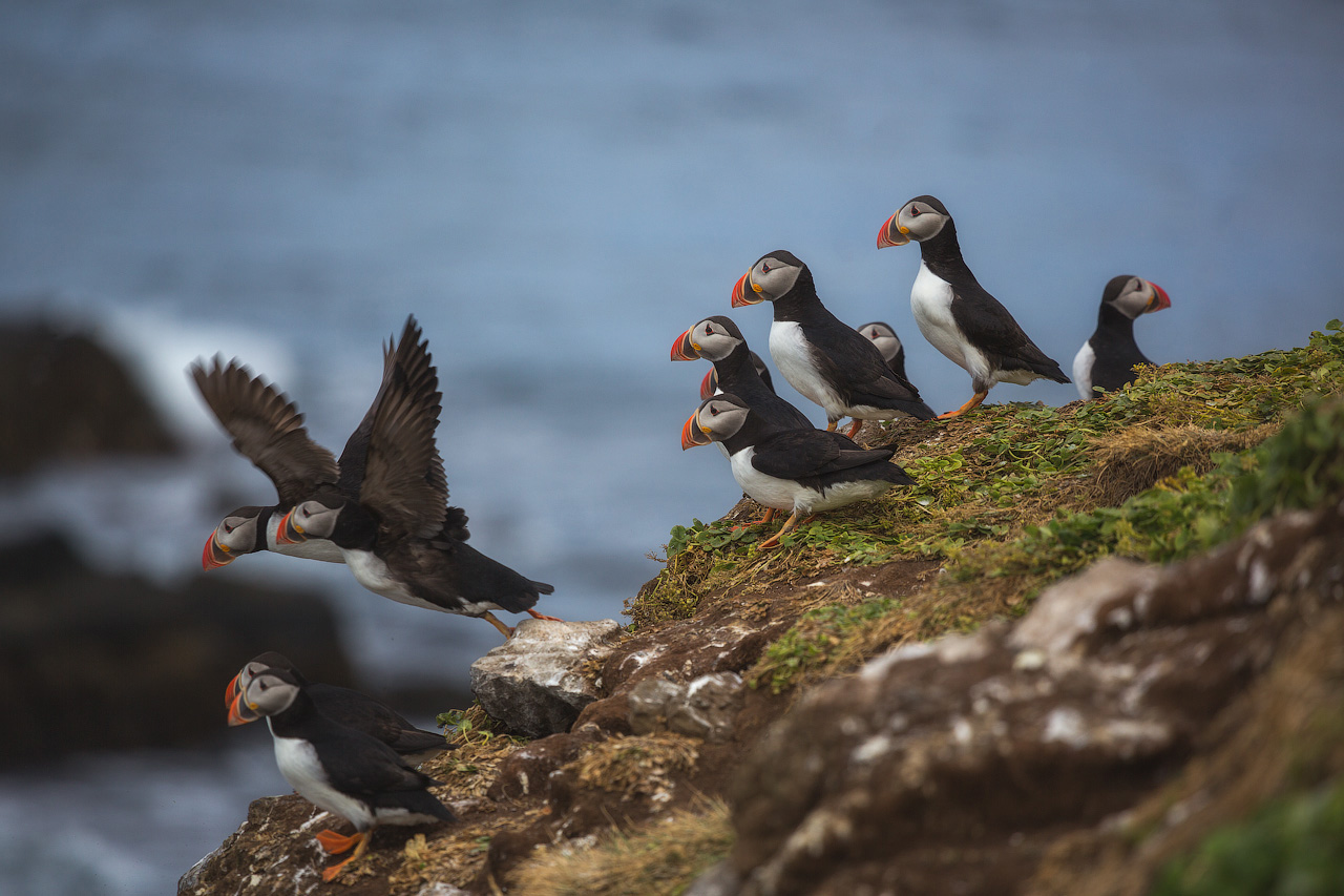 Atlantic Puffins take flight.