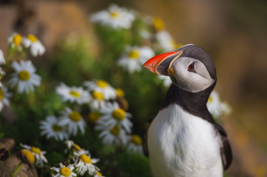 Where to Photograph Puffins in Iceland