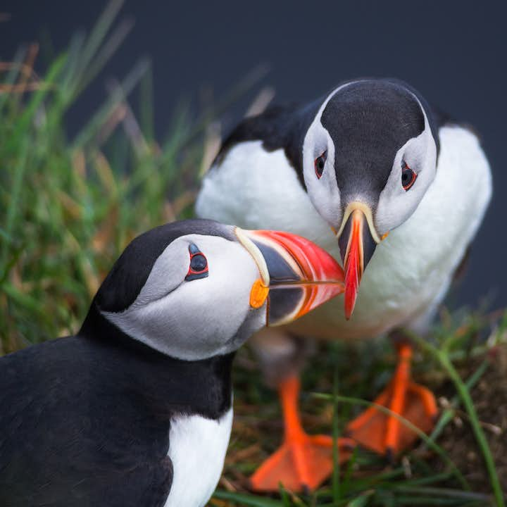 Atlantic Puffins leaning in for a kiss!