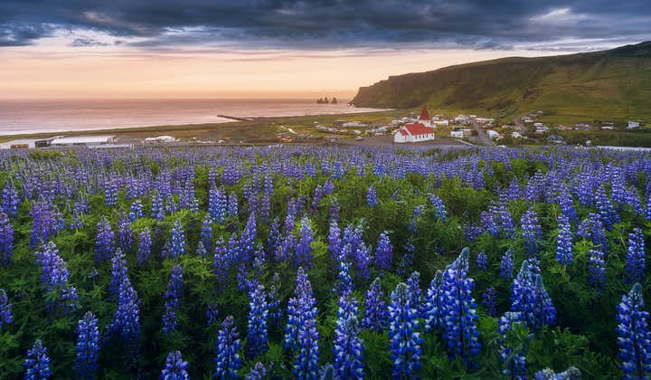 Lupin flowers cover much of the Icelandic landscape during the summer months.