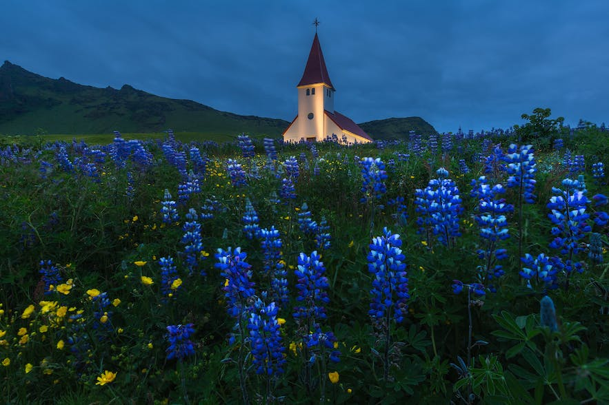 Lupines in Iceland. Photo by: 'Iurie Belegurschi'.