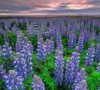 Les fleurs de lupin bleu couvrent une grande partie du paysage islandais en été.