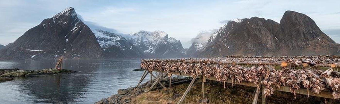 Dried fish in Lofoten