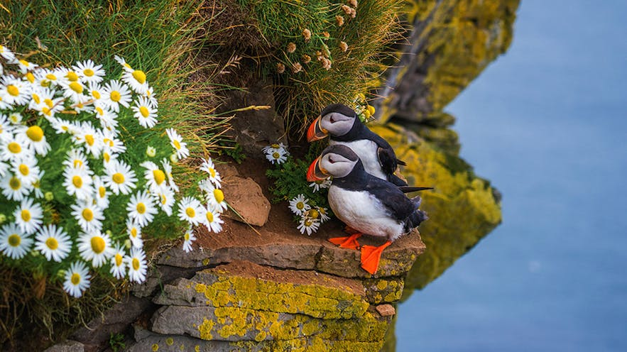 Puffins in Iceland  - Photo by Albert Dros