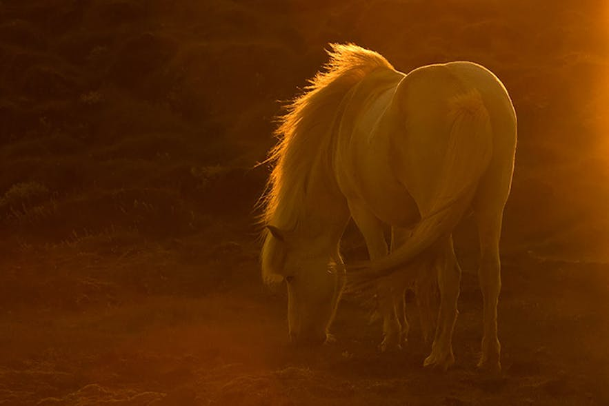 Icelandic Horse - Photo by Raymond Hoffman