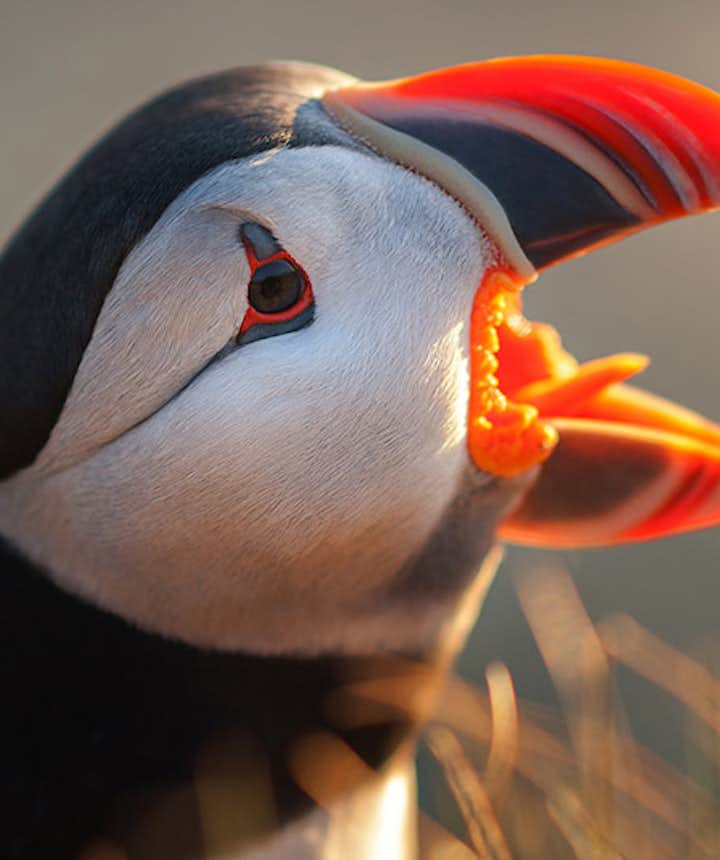 Puffin in Iceland - Photo by Raymond Hoffman