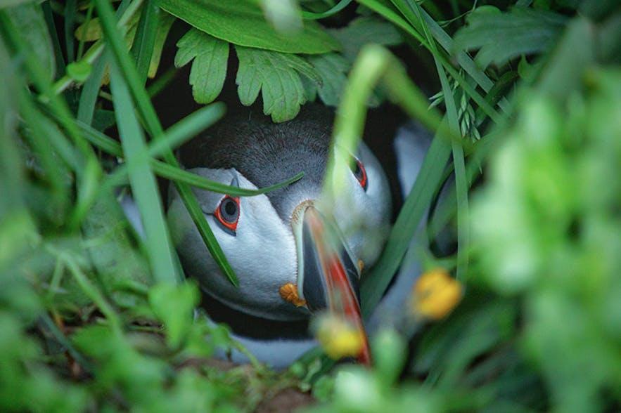 Puffin. Photo by: 'Siggi'.