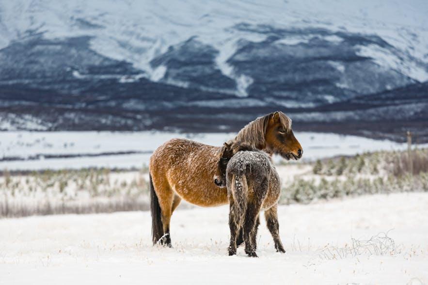 Icelandic Horses. Photo by: 'Bragi Kort'.