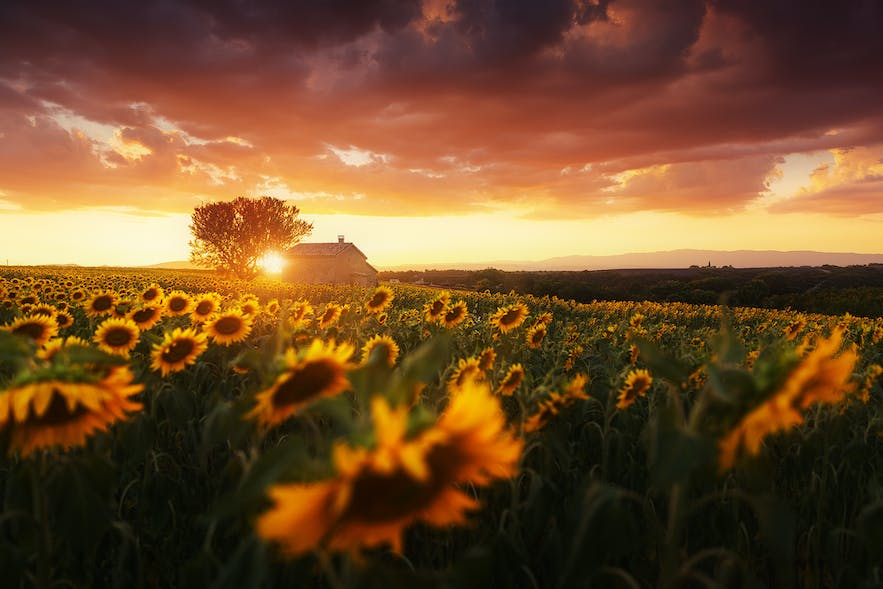 Sunflowers in Provence. Photo by: 'Julien Grondin'.
