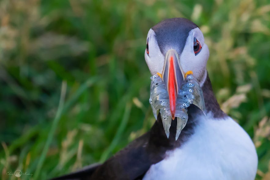Puffin Behaviour
