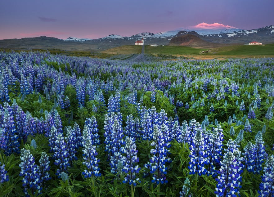 Lupines in summer