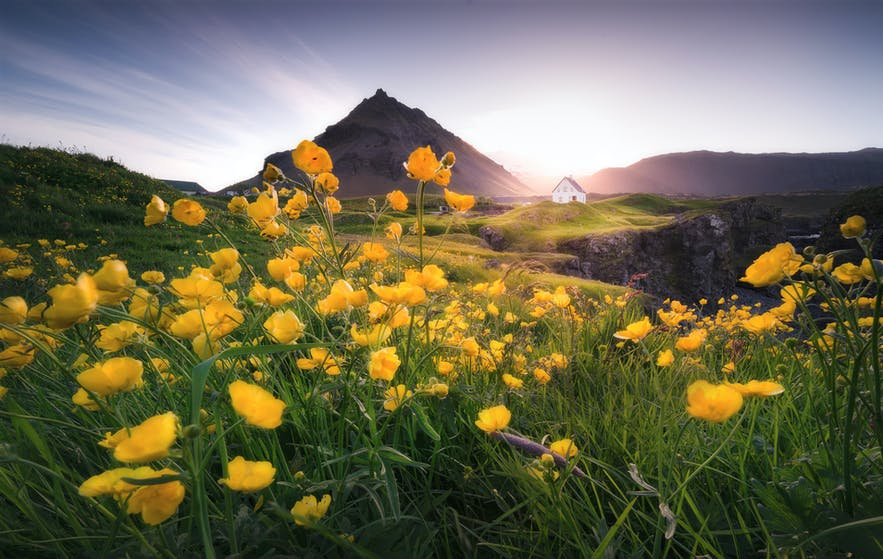 Where to Photograph Lupines and Wildflowers in Iceland