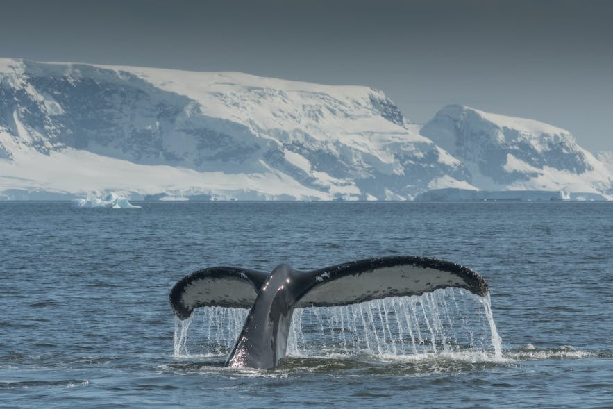 Many great whales migrate to Antarctica for the austral summer.