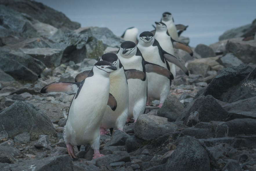 The most iconic Antarctic animals are the penguins.