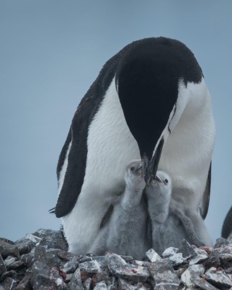 A chinstrap penguin feeding its young in Antarctica.