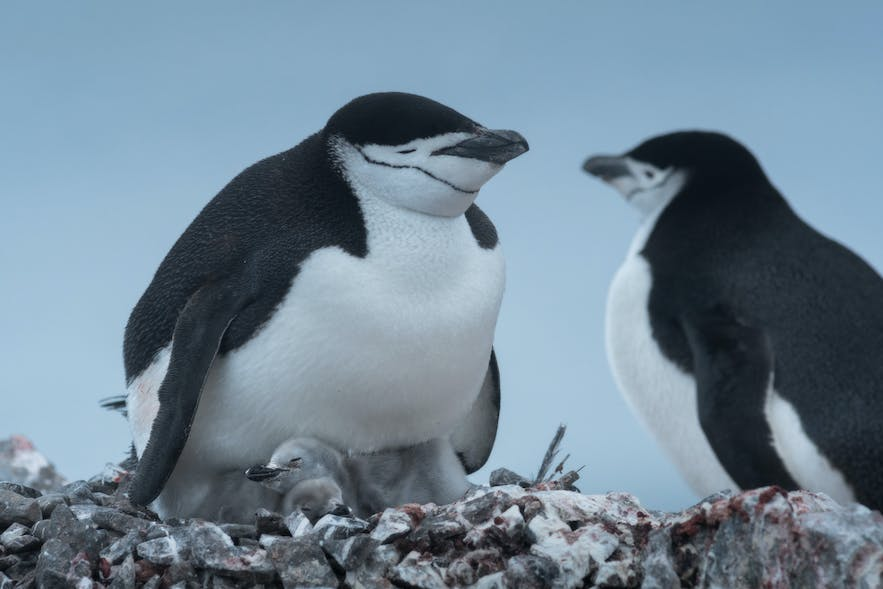 A mating couple of chinstrap penguins in Antarctica.