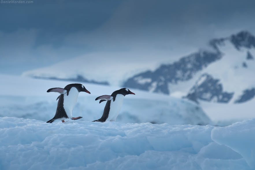 Two Gentoo Penguins clumsily walking over the snow of the Antarctic coast.