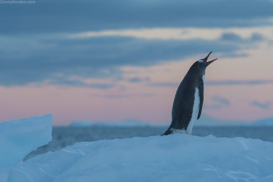 Penguins are Antarctica's most iconic animal.