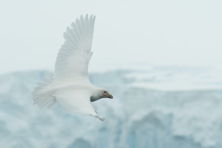 South Polar Skua blend in perfectly with the Antarctic landscapes.