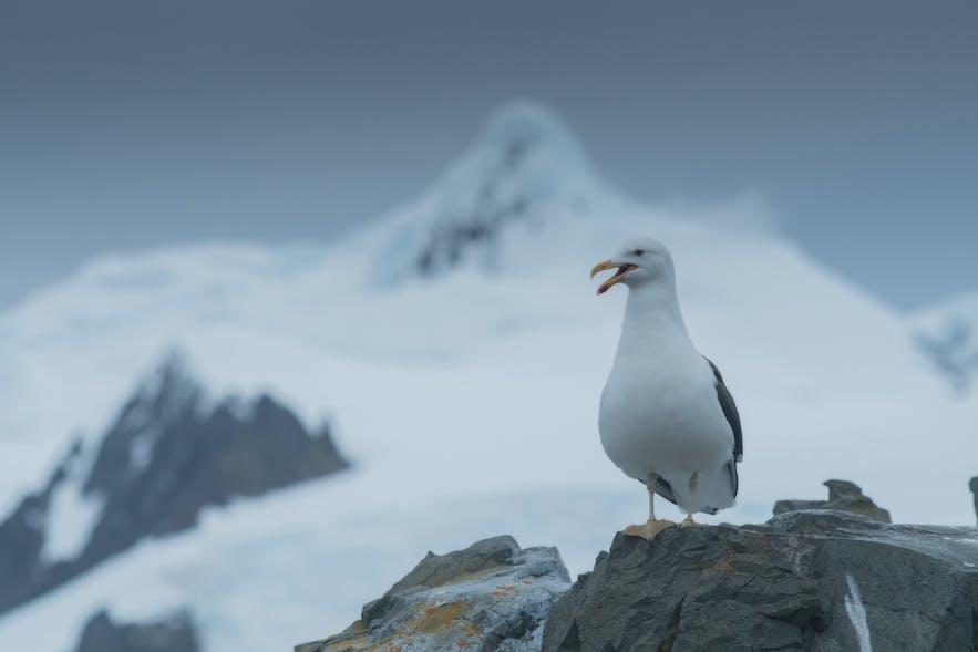 Kelp Gulls are vicious Icelandic predators and scavengers.