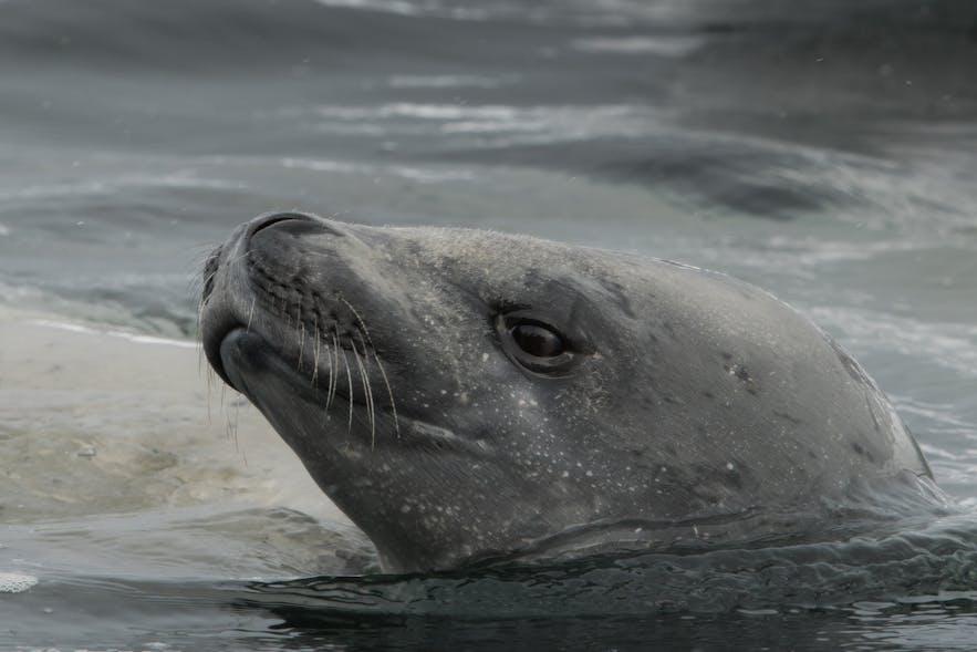 Leopard seals are an apex predator in the ocean.