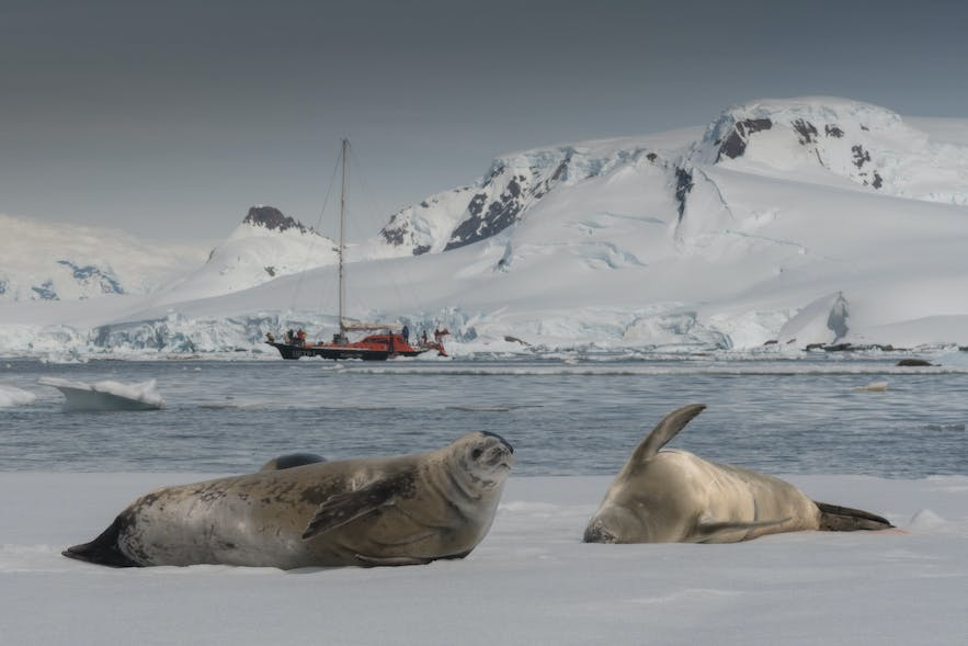 Crabeater Seals, Antarctic natives, are the most common species of seal.