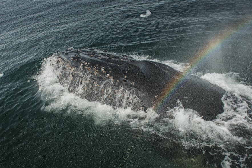 Antarctic waters in summer bloom with krill, attracting many whales.