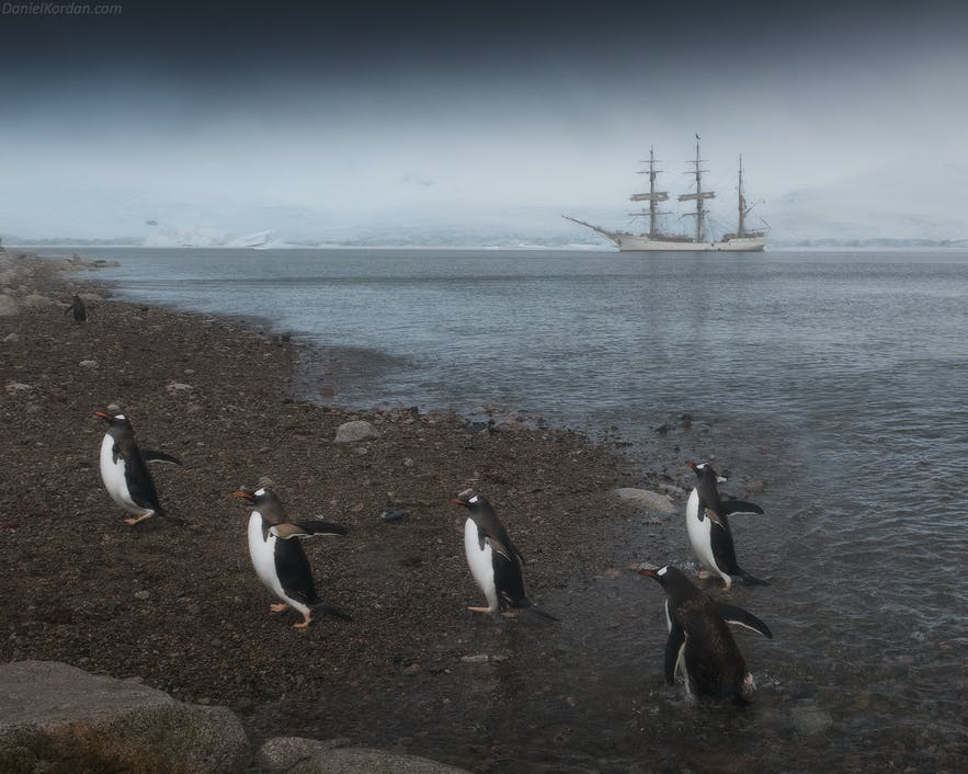Gentoo penguins waddle on an Antarctic beach.