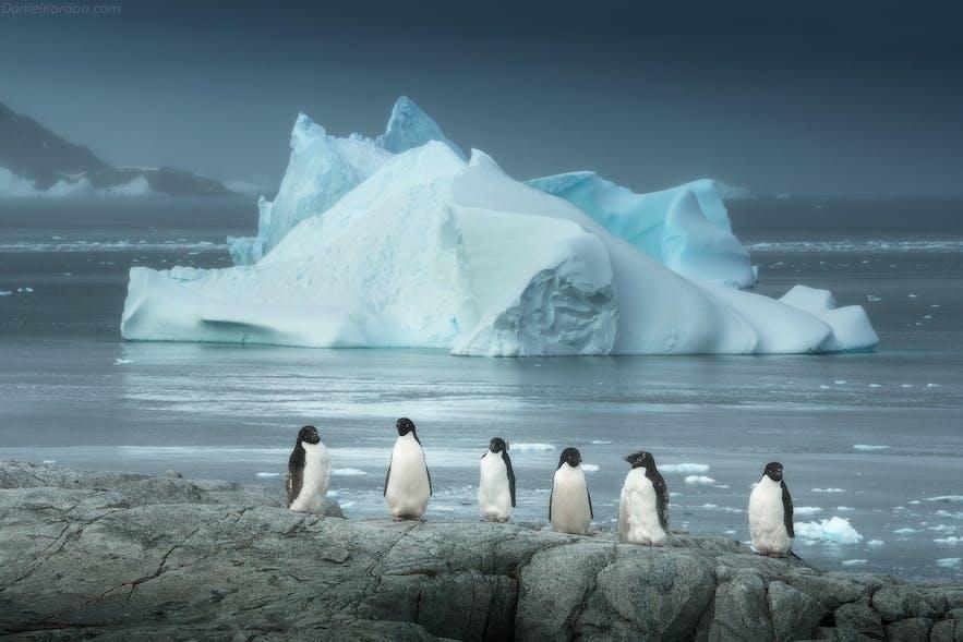 Adelie Penguins, endemic to Antarctica, have noticeably dark beaks.