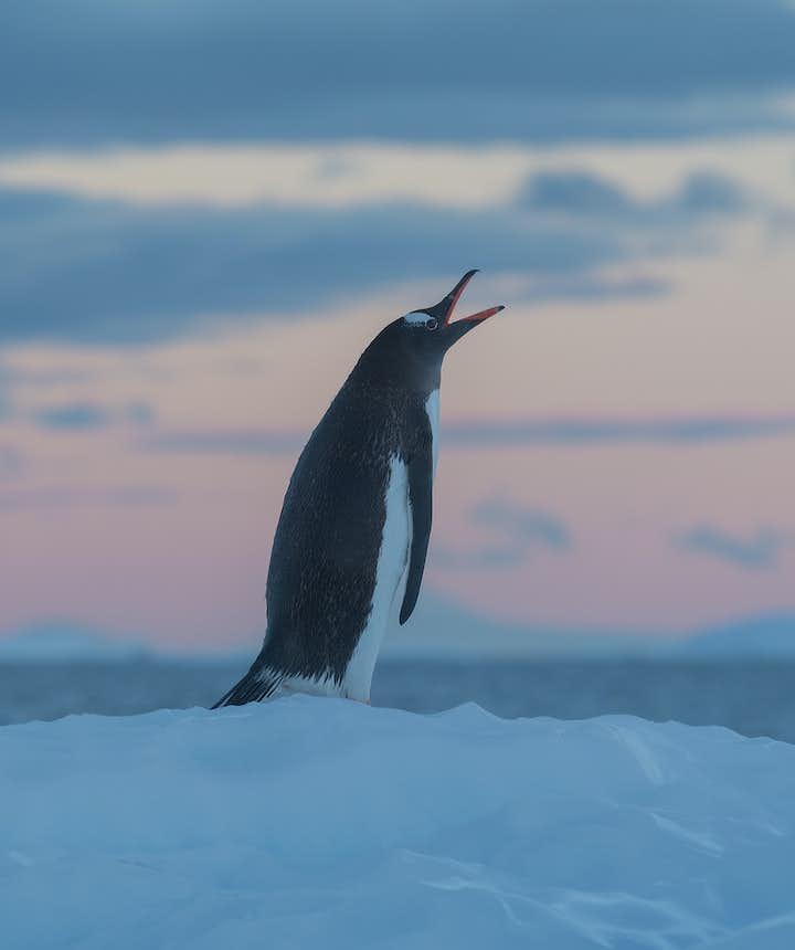 A Gentoo Penguin in Antarctica calls for its mate.