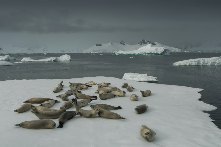Six species of seal can be found in Antarctica year round.