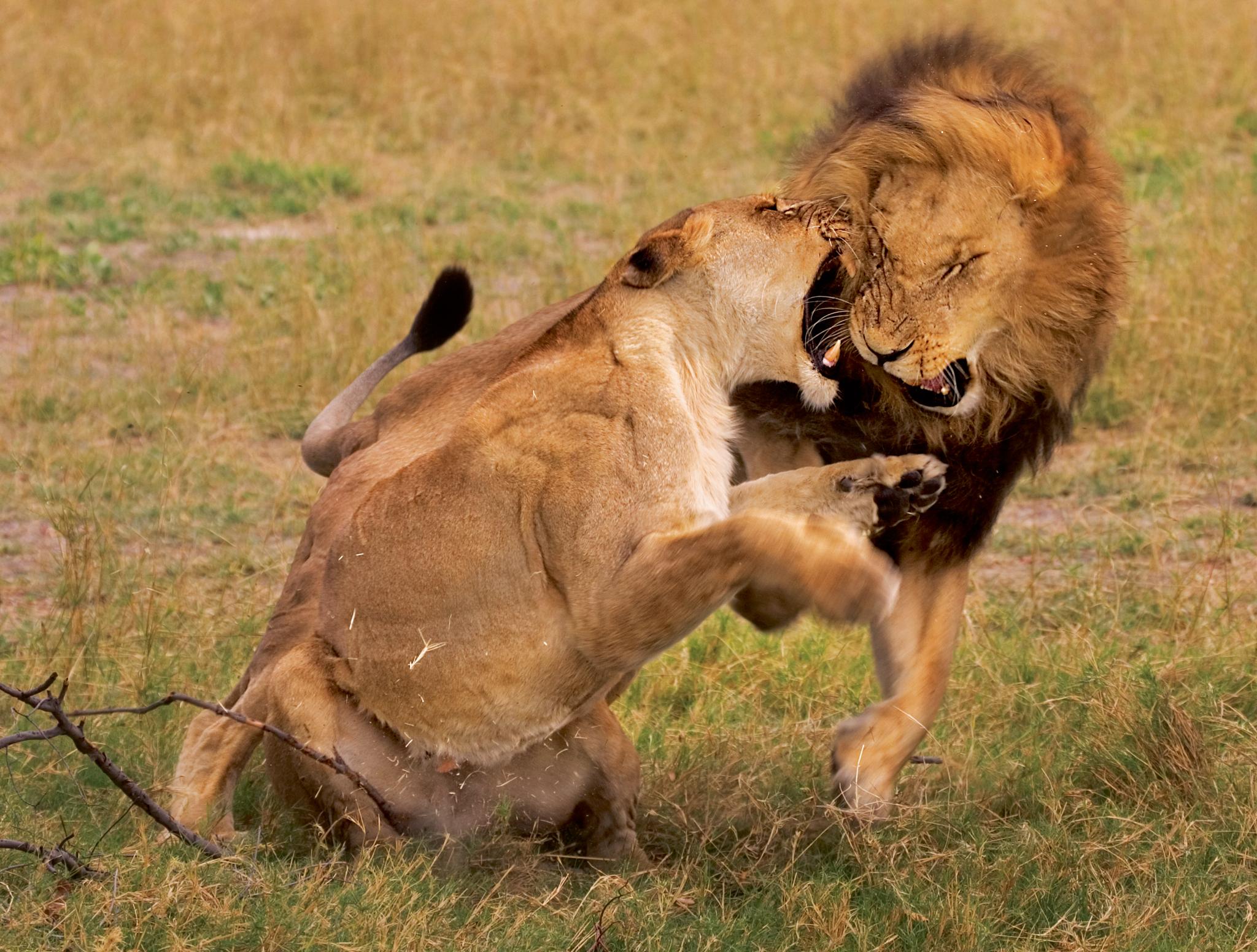 это прибор, картинка лев кусает за хвост идите