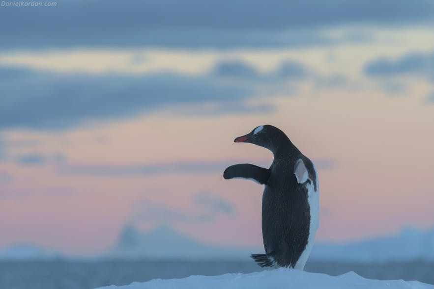 An adelie penguin on a still summer's day in Antarctica.