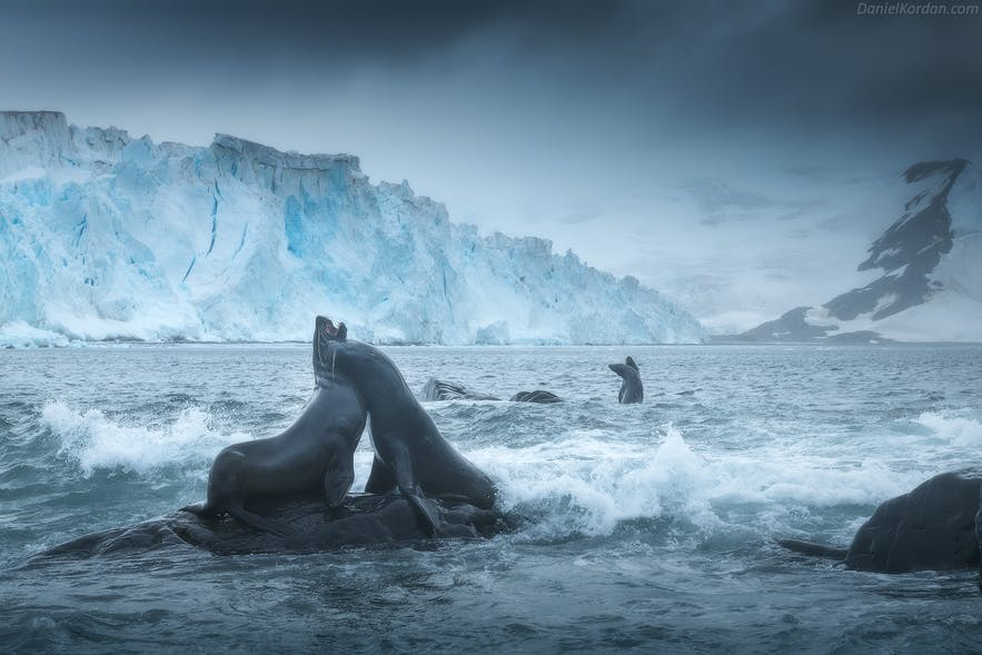 A pair of Antarctic Fur Seals wrestle in front of a beautiful landscape.