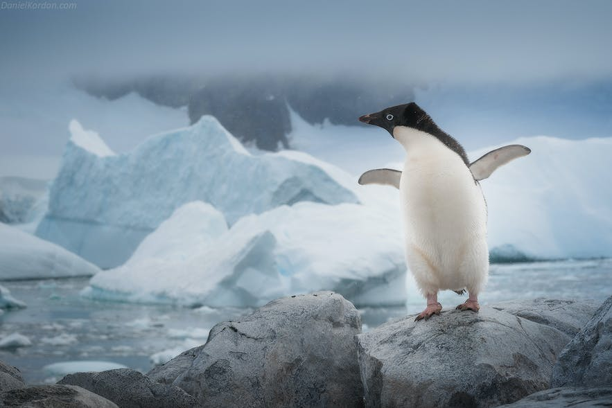 An Adelie Penguins stands before a seascape in Antarctica.
