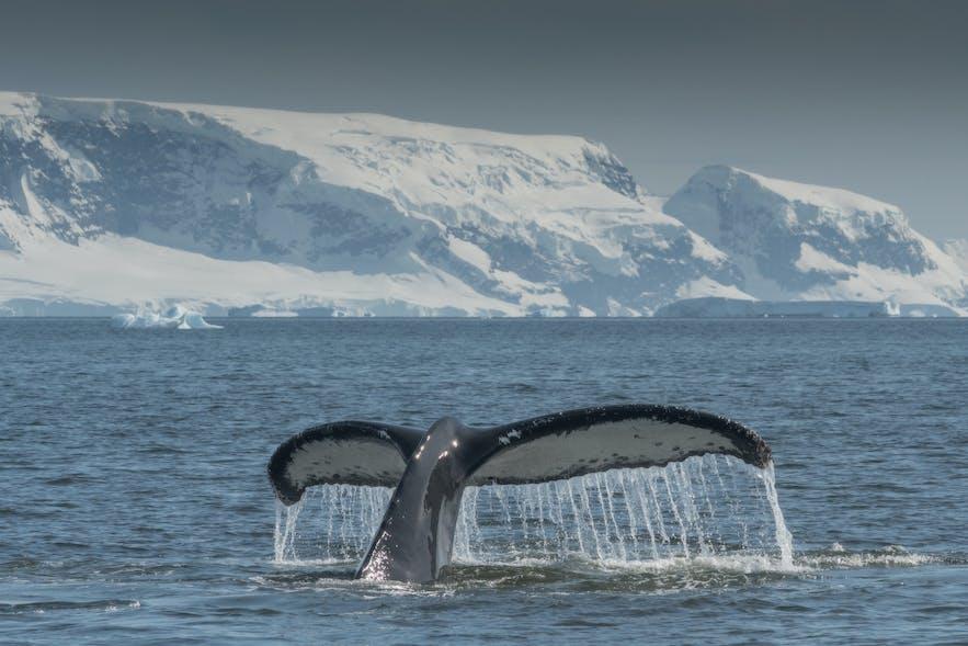 A whale raises its flukes off Antarctica's coastline.