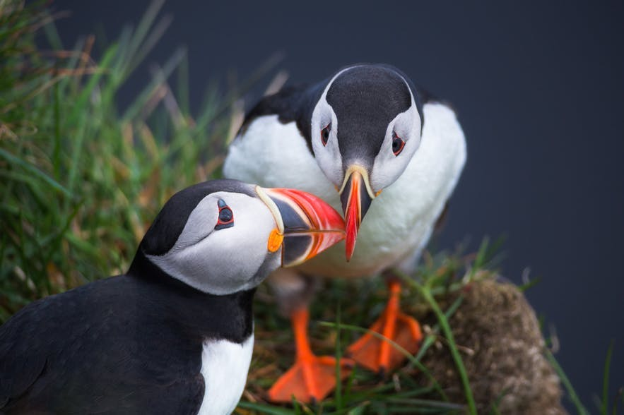 Two puffins bump beaks near the Icelandic coast - the Iceland Photography | Everything You Need To Know