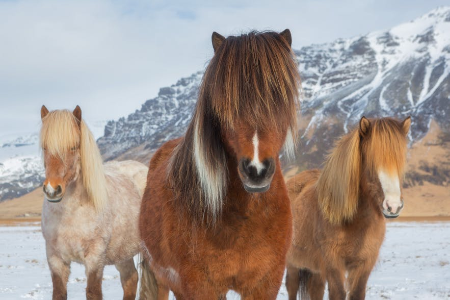 Three Icelandic horses face the camera in an Icelandic landscape - Iceland Photography | Everything You Need To Know