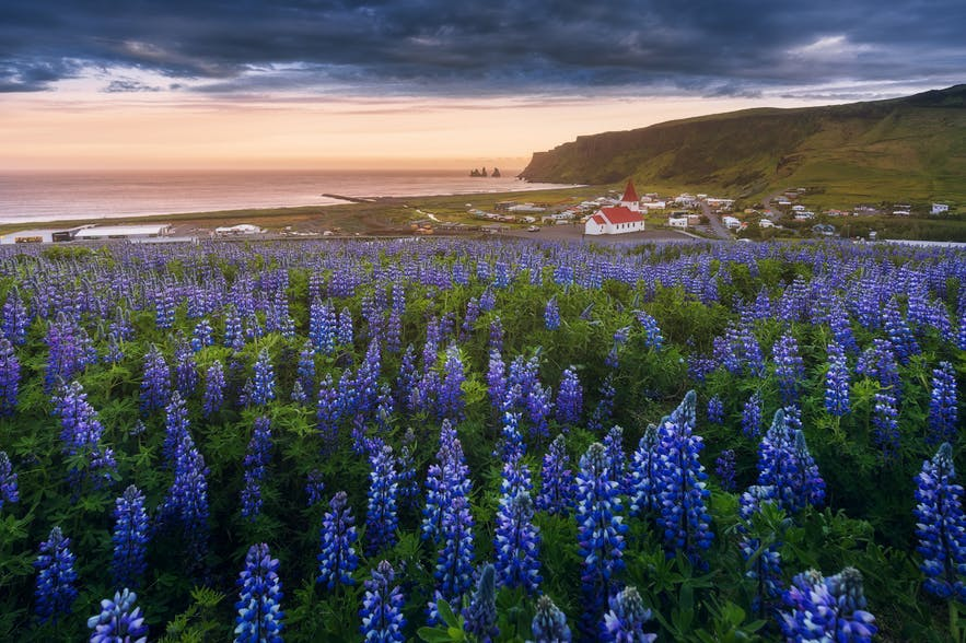 A field of lupines cover the landscape, leading to a church in the background - Iceland Photography | Everything You Need To Know