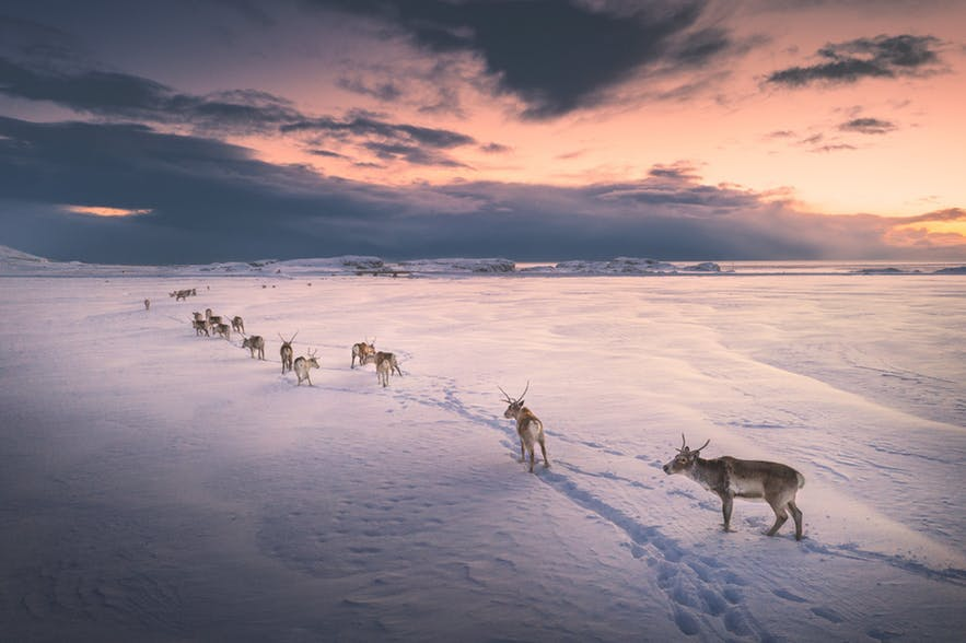 A herd of Reindeer traveling over a large, snowy plain